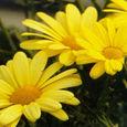 37_argyranthemum